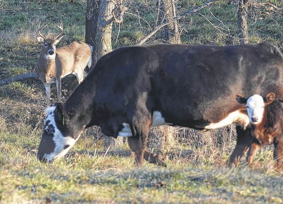 With deer season starting today, this buck seems to have found a place blend in — among cows in a Pike County field. Photo: Jeff Ruzicka | Reader Photo