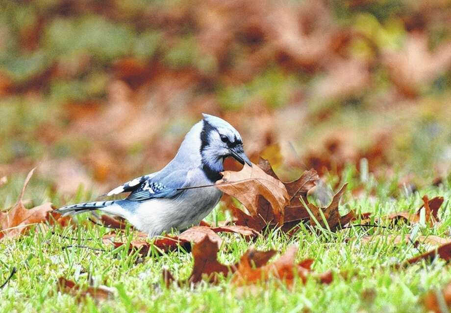 Jeff Ruzicka | Reader photo A blue jay picks up a leaf in its beak. The bird also collected twigs and grass as part of its afternoon gathering.