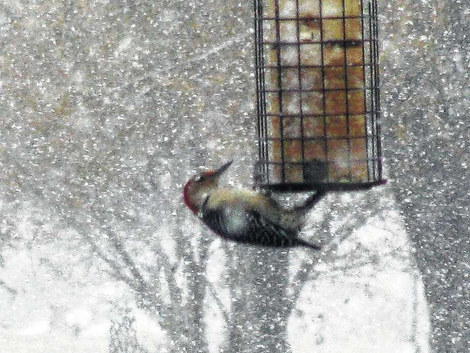 Beverly Watkins | Reader photo A woodpecker battles against the wind and snow Saturday to get a meal from a feeder in Scottville.