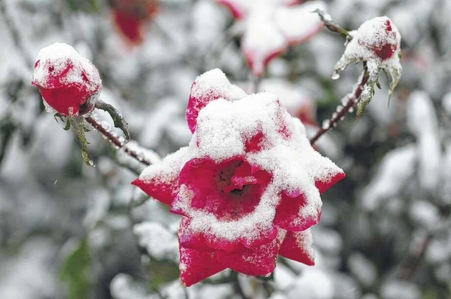 Snow covers rose blossoms Saturday in Jacksonville. Most of west-central Illinois saw just a dusting of snow, but cities to the north received significant amounts. Photo: David Blanchette | Journal-Courier