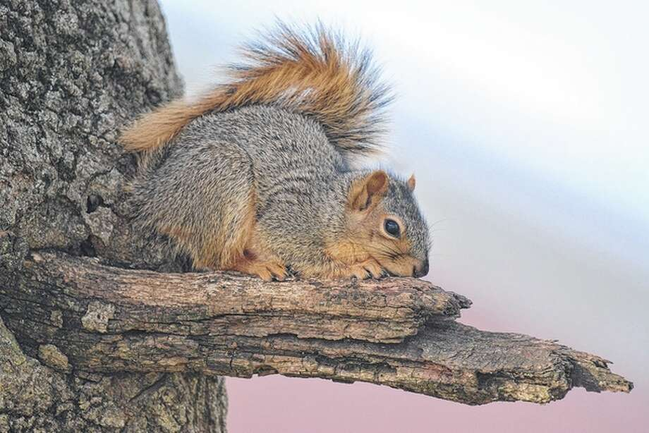 Jeff Ruzicka | Reader photo A squirrel gets a good vantage point from a tree branch.