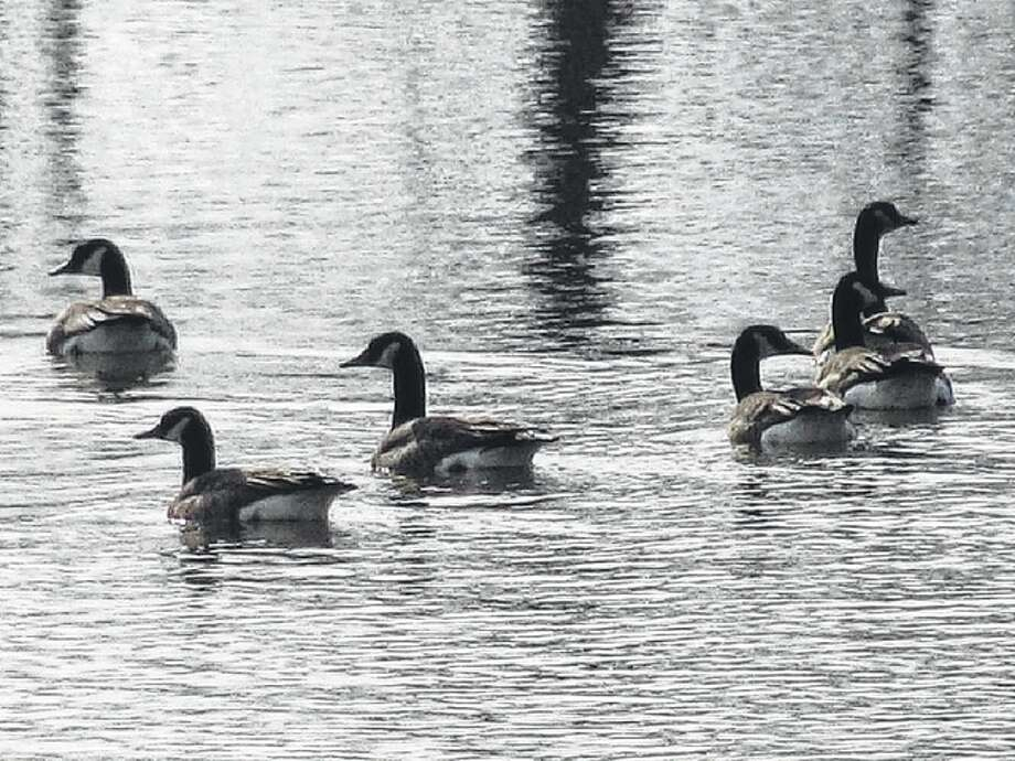 A group of geese enjoy a swim in a farm pond east of White Hall. Photo: Beverly Watkins | Reader Photo