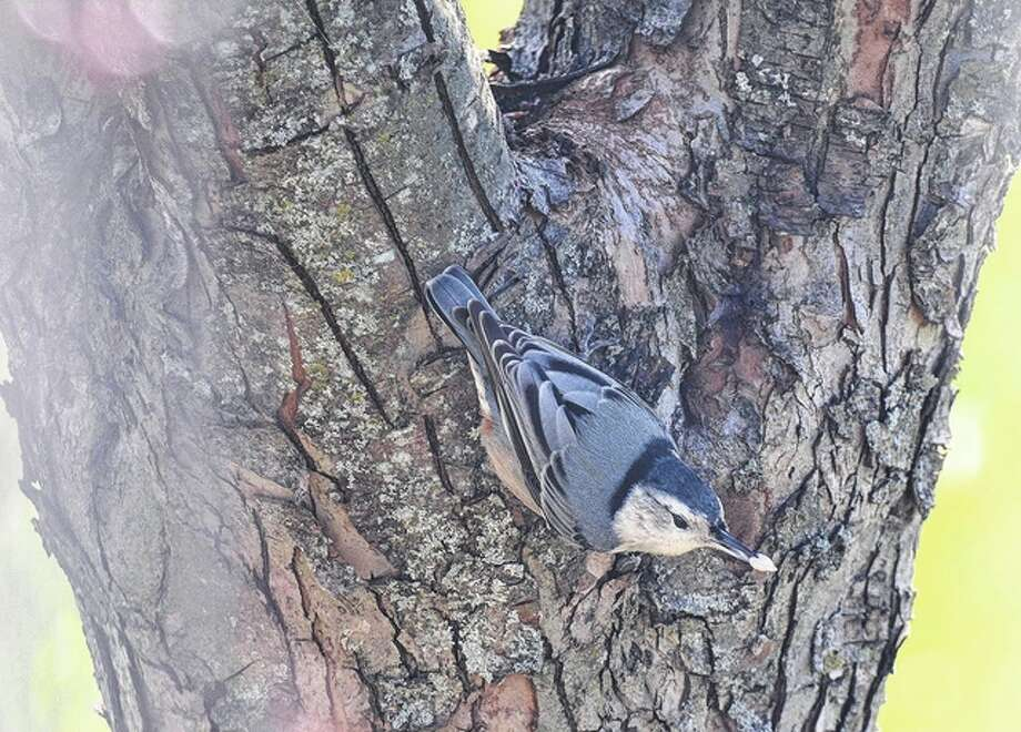 Jeff Ruzicka | Reader photo A white-breasted nuthatch makes its way down a tree in Pike County. The songbird has the fairly unique ability to move head-first down trees. Seeds are a substantial part of its winter diet.