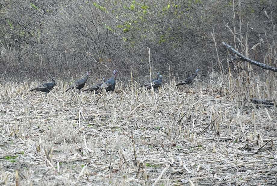 Jeff Ruzicka | Reader photo A rafter of turkeys forms a line heading into the brush the week after Thanksgiving.