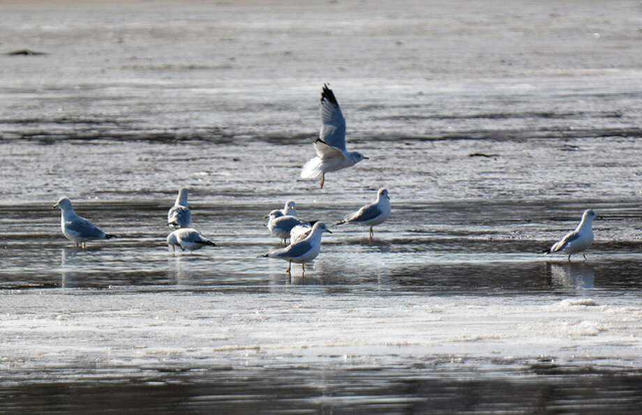 Jeff Ruzicka | Reader photo Birds scramble for morsels along an icy Mississippi River.