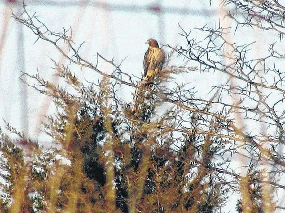 Beverly Watkins | Reader photo A red-tailed hawk flew to the top of an evergreen tree in Greene County to get a glimpse of its surroundings.