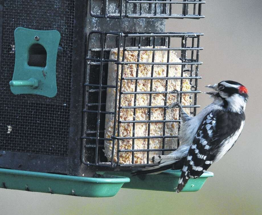 Jeff Ruzicka | Reader photo A downy woodpecker gets a bite from a feeder. The downy woodpecker is the smallest in North America; males of the species are identified by the red spot on their head.