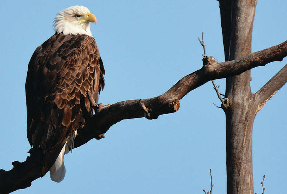 Jeff Ruzicka | Reader photo An eagle keeps keen watch over the ground below from its perch in a tree.