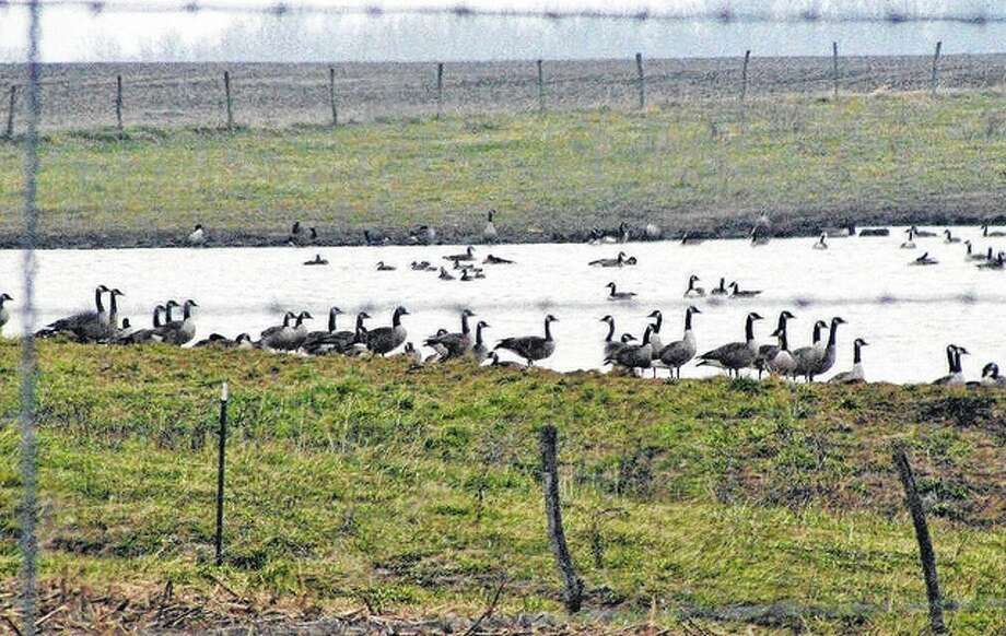 Beverly Watkins | Reader photo An abundance of geese take over a pond on a farm in Greene County.