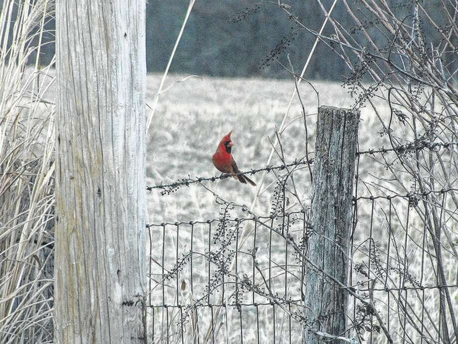 Beverly Watkins | Reader photo A cardinal sits on a barbed-wire fence in rural Roadhouse.