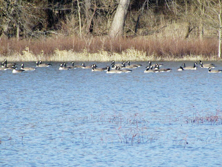 Geese enjoy a swim in a marshy area of rural Greene County. Photo: Beverly Watkins | Reader Photo