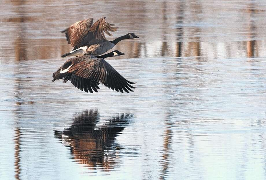 Jeff Ruzicka | Reader photo A pair of Canada geese take to flight.