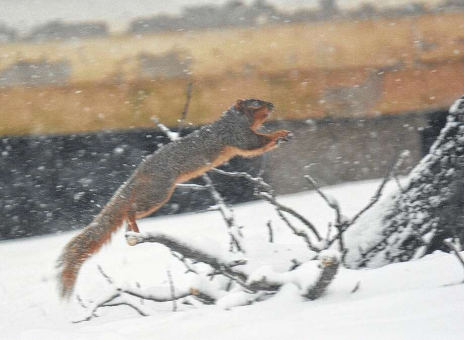 A squirrel darts across the snow in a back yard in Martinsburg. Photo: Jeff Ruzicka | Journal-Courier