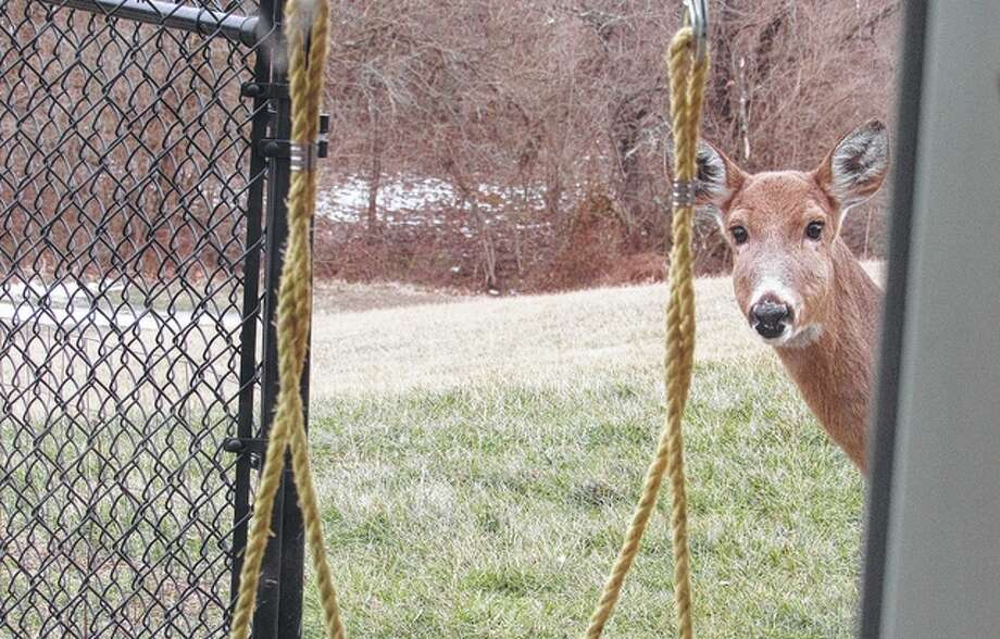 A deer pokes its head around the corner and into a back yard workshop, curious about what was going on inside. Photo: Larry Speakman | Reader Photo