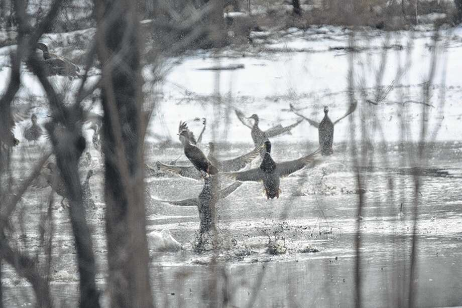 A group of mallards take off after dipping into a chilly pond in Pike County briefly. Photo: Jeff Ruzicka | Reader Photo