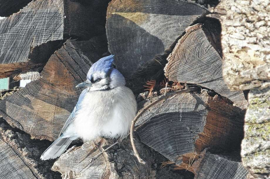 A blue jay spends a little time resting in a stack of firewood. Photo: Jeff Ruzicka | Reader Photo