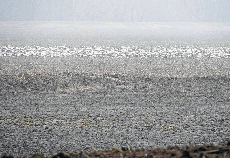 Hundreds of snow geese line a field in Greene County, giving the appearance of a blanket of snow. Photo: Beverly Watkins | Reader Photo