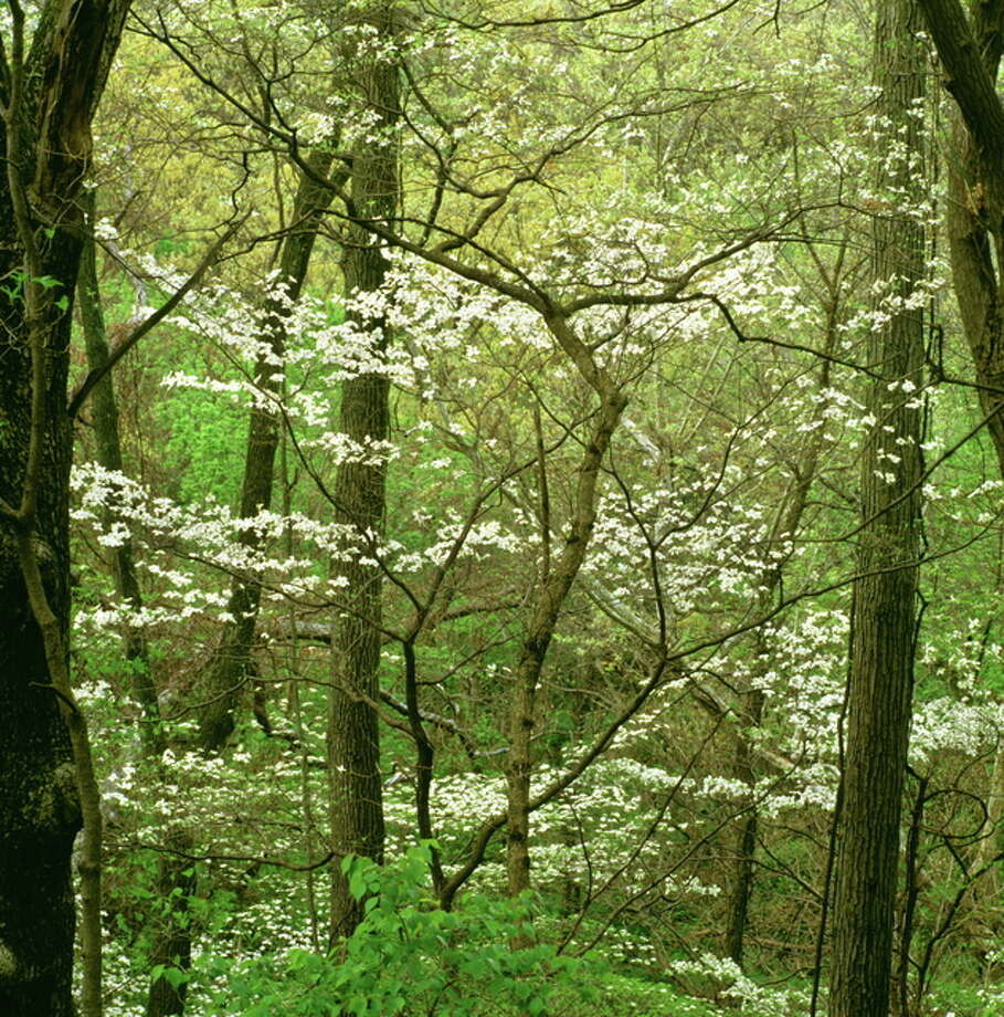 """Dogwood Thicket"" by Jeffrey Vaughn of Alton, one of the 2015 exhibit winners."
