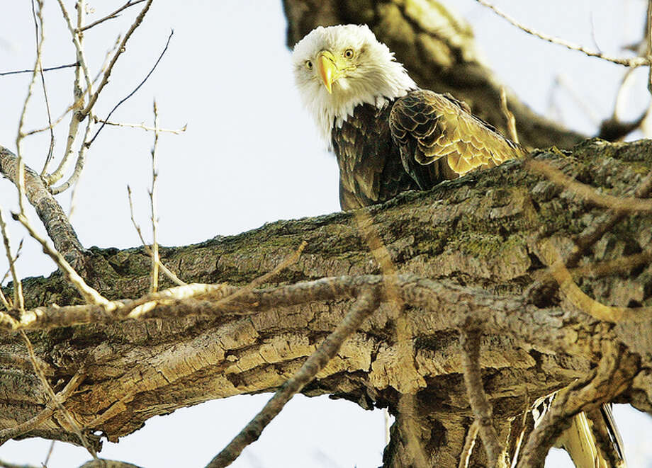 John Badman|The Telegraph One of a pair of eagles who took up year around residence in the area perches on a tree near the pair's former nest along Illinois Route 143 in Alton. Officials cut down the tree years ago because of the dangers associated with tourists stopping on the highway but the eagles relocated to another nest farther from the road. An eagle believed to be the female of the pair was struck and killed by a vehicle last week on Illinois Route 143 near the Cpl. Chris Belchik Memorial Expressway.