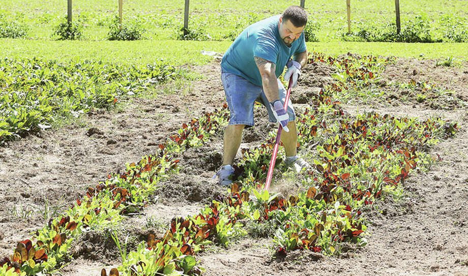 A participant in a large garden which will provide fresh vegetables for a farmers market for the Dream Center, 3401 Fosterburg Road, works on weeding the lettuce Tuesday. The garden provides jobs and a new start for men just getting out of prison.