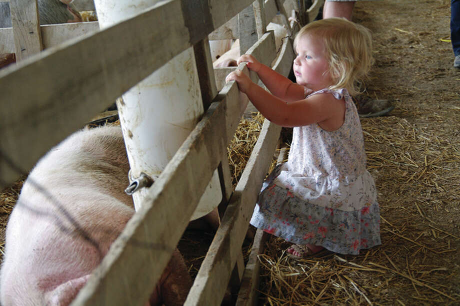 Claire Hartwick, 1, of Carrollton, checks her pigs on Sunday to help her siblings prepare for a livestock show this week at the Greene County Fair in Carrollton, Illinois.