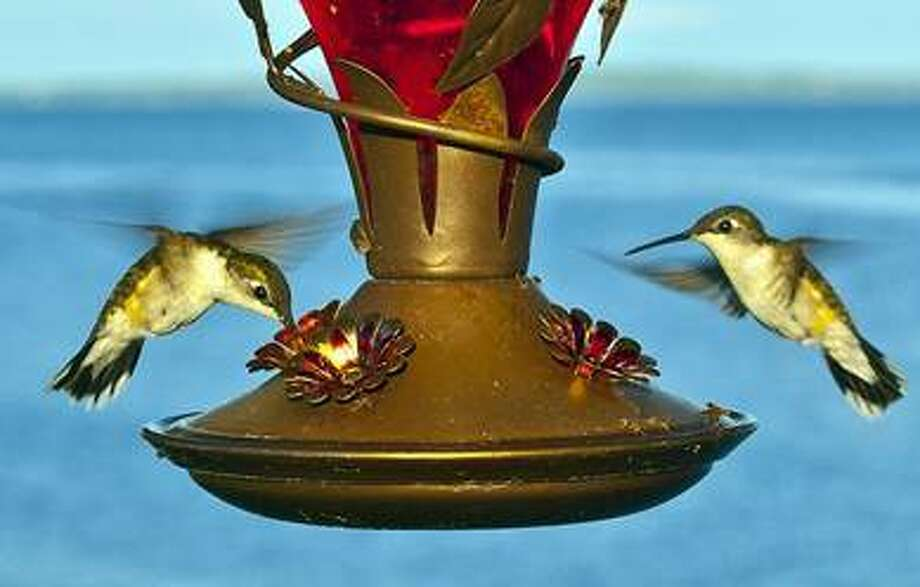 """Hummingbirds at feeder"" by Centpacrr via Wikimedia Commons"