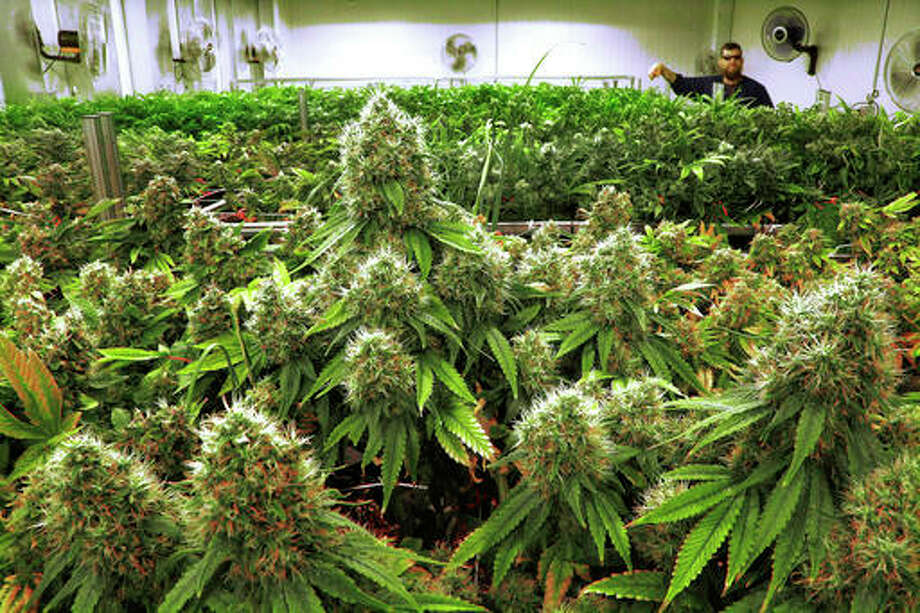 "In this Sept. 15, 2015, file photo, marijuana plants are a few weeks away from harvest in the ""Flower Room"" at the Ataraxia medical marijuana cultivation center in Albion, Ill. A judge has ordered Illinois health officials to reconsider their decision not to include migraine headaches on the list of conditions that qualify for use of medical marijuana in the state. A Cook County judge overturned Illinois Department of Public Health Director Dr. Nirav Shah's denial of a petition to add migraines to the list. The state's Medical Cannabis Advisory Board had voted to recommend approving marijuana to treat migraines. AP Photo/Seth Perlman, File"