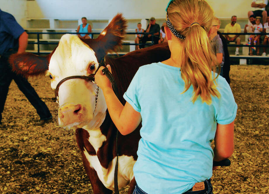 Bailey Mettler's cow peeks around her shoulder at the camera Friday morning during a 4-H cow competition at the Madison County Fair.