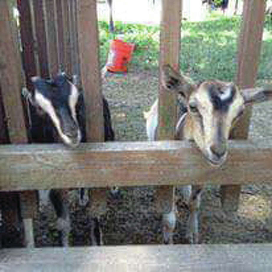 Skeeter the goat, right, from Green Finned Hippy Farms will be at the Grassroots Grocery one-year anniversary party on Sunday to greet visitors.