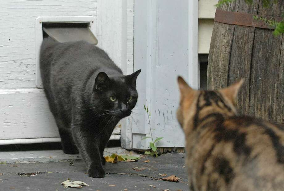 Outdoor cats, like these seen Monday in Guilderland, would be banned from running at large under a Bethlehem neighborhood petition proposing a law to stop trespassing cats. (Lori Van Buren / Times Union) Photo: LORI VAN BUREN/TIMES UNION