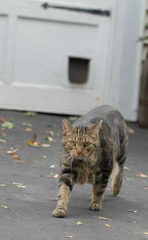 Wandering cats often leave urine and waste in neighbors' yards, a petition for a ban notes. (Lori Van Buren / Times Union) Photo: LORI VAN BUREN/TIMES UNION