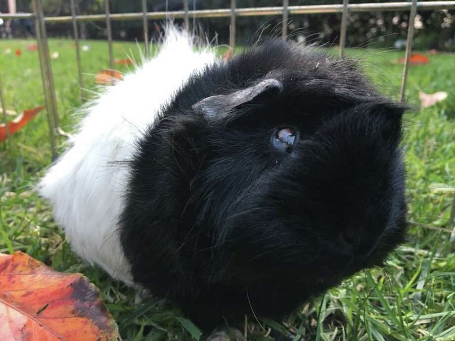 he started with 10 guinea pigs ended up with 700 a rescue group is