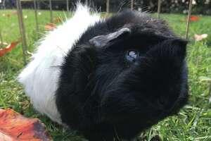 A guinea pig at the L.A. Guinea Pig Rescue.