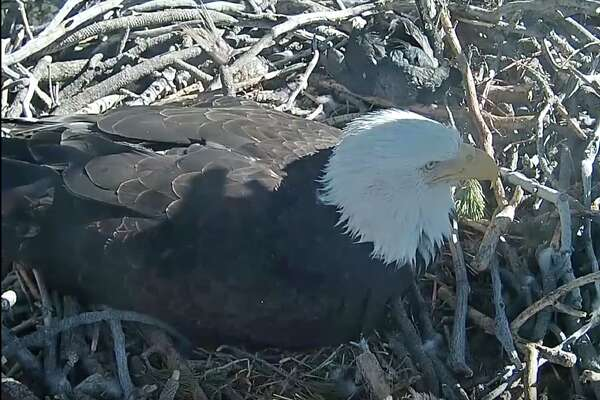 Screen captures from the live stream of the bald eagle nest at Big Bear Lake, California on Feb. 11, 2018.