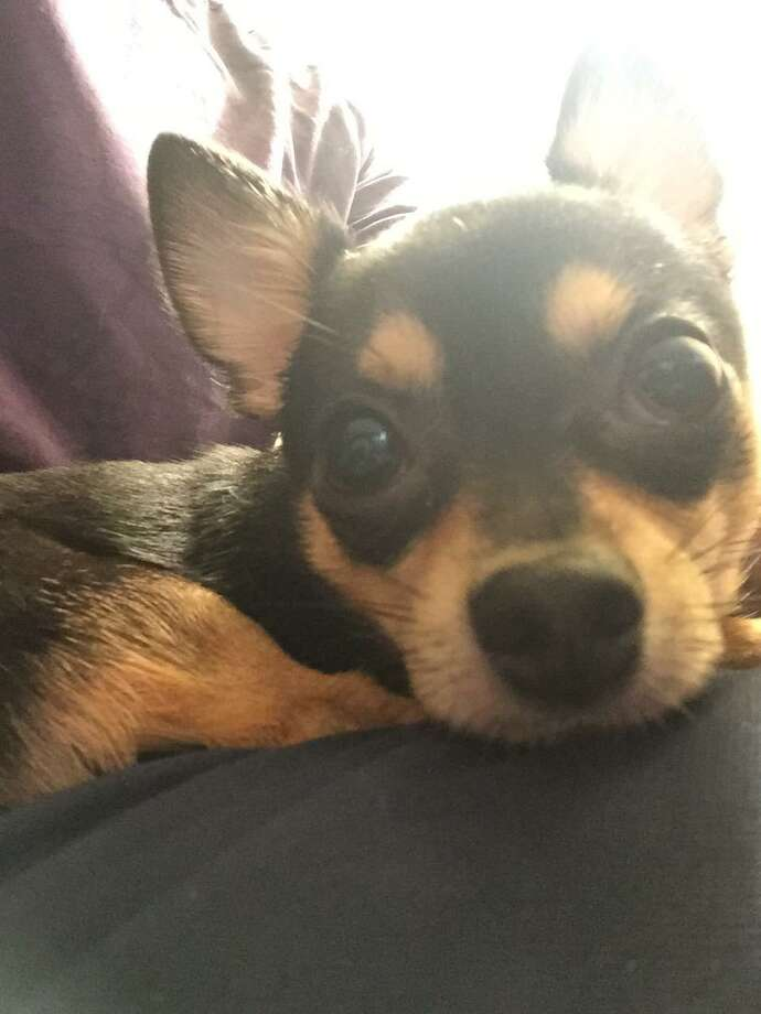 Dunky, a 4-year-old Chihuahua, died after a suspect broke into a car and threw him over a railing near San Francisco's Union Square, police said. Photo: SFPD / SFPD