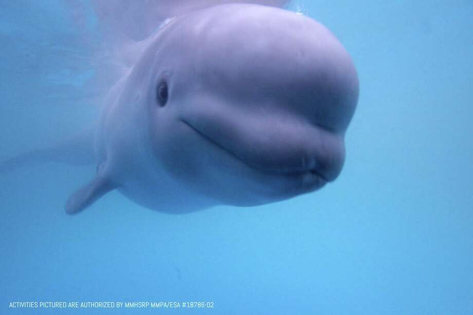 A beluga whale named Tyonek, seen in a courtesy image provided Sunday, Feb. 11, 2018 by SeaWorld public relations, is on its way to SeaWorld San Antonio after being rescued in Alaska. Photo: COURTESY,  COURTESY / COURTESY / COURTESY SEAWORLD