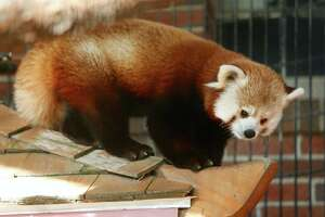 Connecticut's Beardsley Zoo has acquired possible mates for Rochan the red panda and Jabba the Sloth. Photos courtesy of Beardsely Zoo.