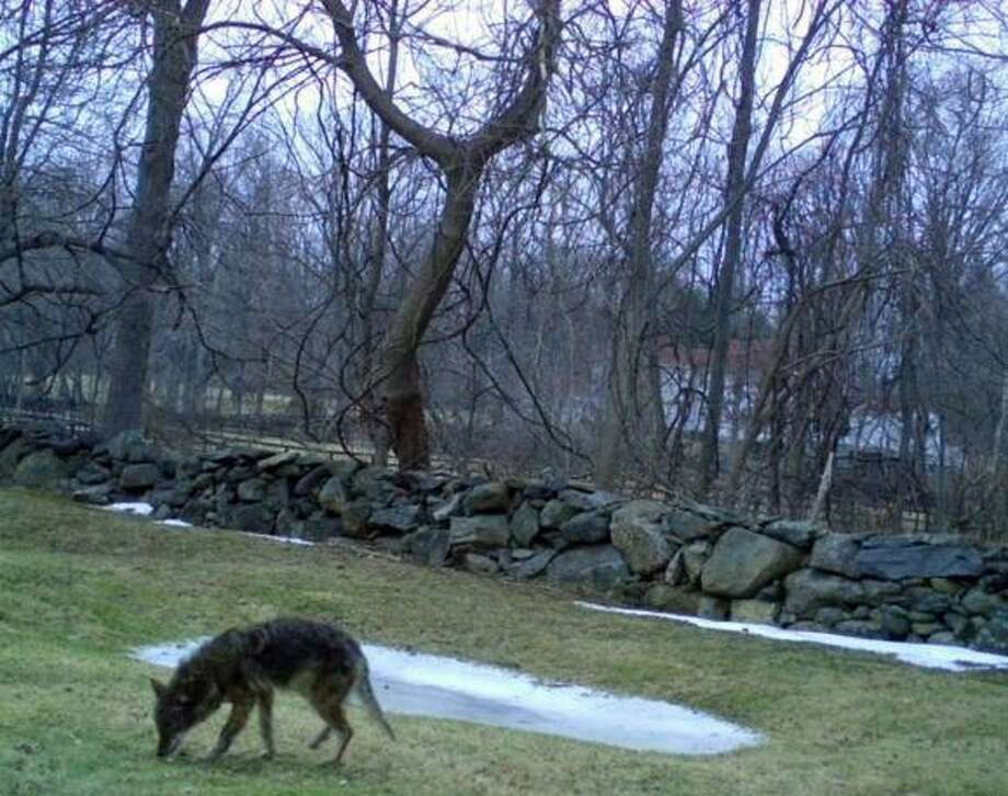 A coyote forages for food in the yard of the Grady family on Locust Road off King Street in northwest Greenwich. Photo: Contributed Photo