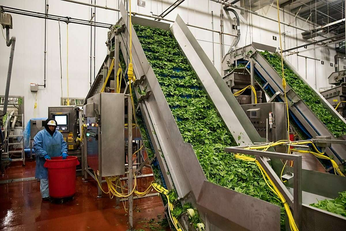 Leafy greens head up the conveyor belt to an optical sorter at the Taylor Farms processing facility in Salinas, Calif. Thursday, July 20, 2017. The sorter utilizing laser sensors to detect and foreign material or quality defects.