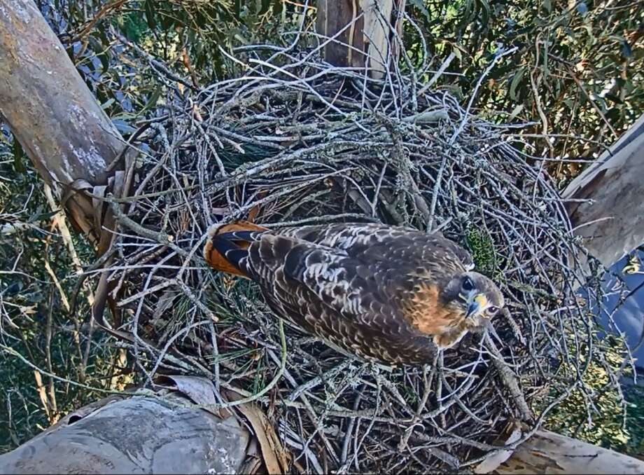 A pair of red-tailed hawks have been building a nest in San Francisco's Presidio as people around the world tune in via live webcam. Photo: Presidio Trust