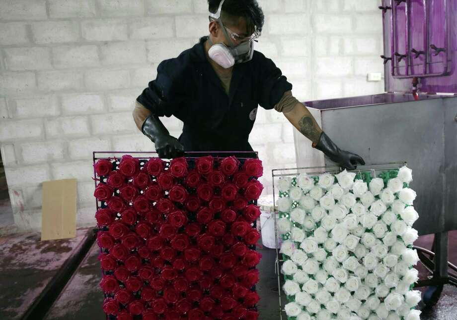 In this Feb. 8, 2018 photo, Stalin Diaz holds a tray of roses whose natural colors have been extracted, right, and a tray of roses before their color is removed through a chemical process at the flower farm Sisapamba in Tabacundo, Ecuador. The technology has been around for decades and is especially popular in Japan, but in Ecuador it took root only recently as a result of an economic crisis that forced flower growers to diversify their offerings and focus on higher-end products. Photo: Dolores Ochoa /Associated Press / Copyright 2018 The Associated Press. All rights reserved.