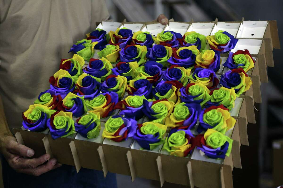 In this Feb. 8, 2018 photo, multi-colored roses that were put through a chemical process to preserve and recolor them sit in a box at the flower farm Sisapamba in Tabacundo, Ecuador. In a warehouse north of Ecuador's capital, a small army of workers prepare shipments of made-to-order roses with tones as diverse as the colors of a rainbow.