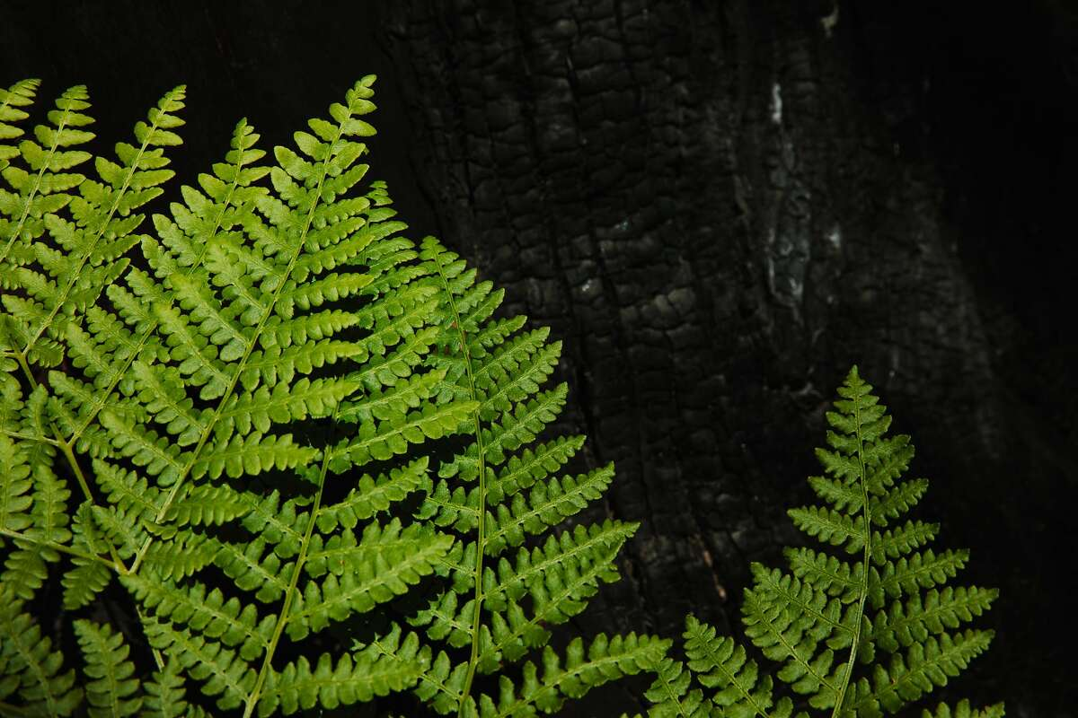 Ferns show new life next to a dead tree as the ecosystem tries to regenerate on a charred Santa Rosa hillside.