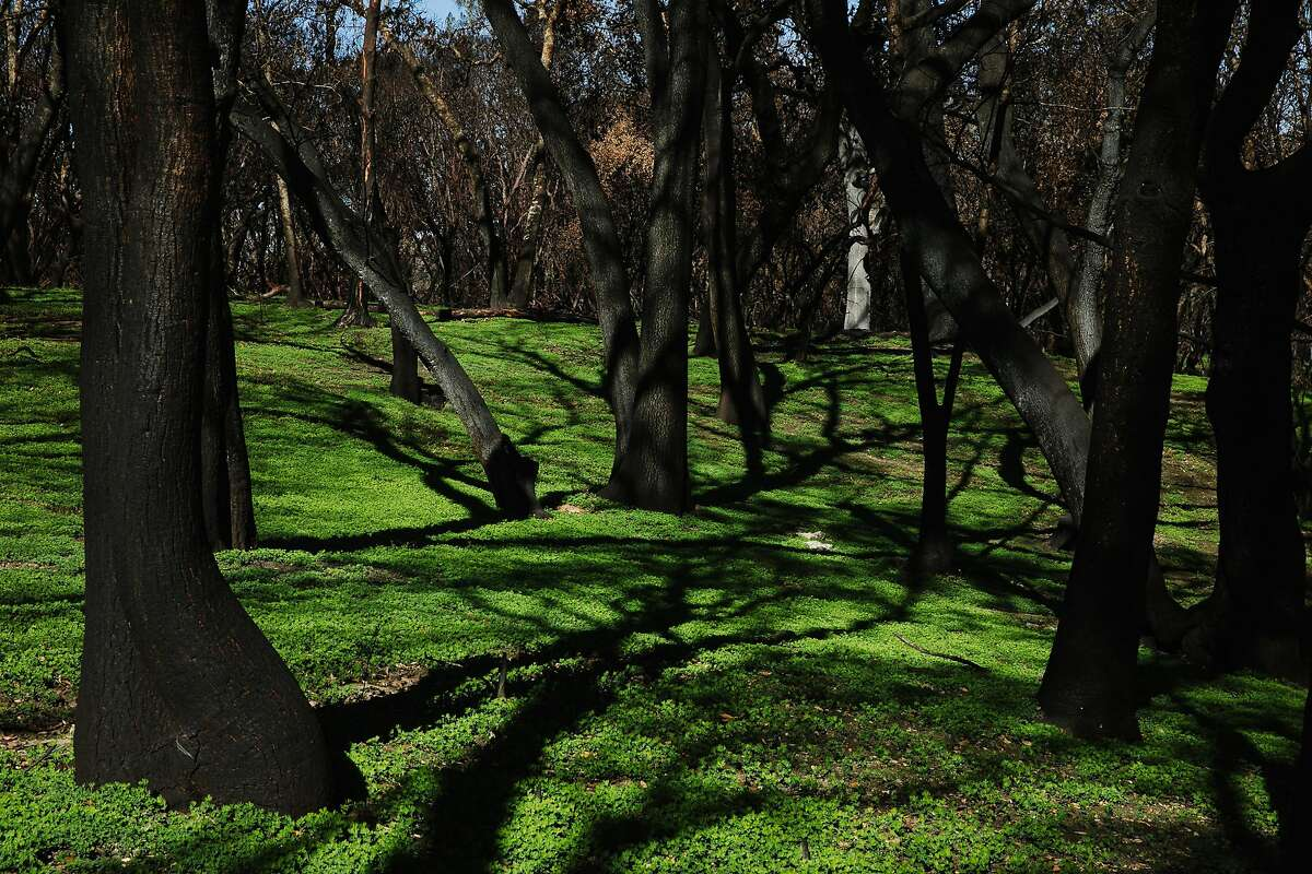 Grass can be seen growing along the hillside near Cross Creek Road as result of hydroseeding in Santa Rosa, Calif. Tuesday, Feb. 13, 2018.