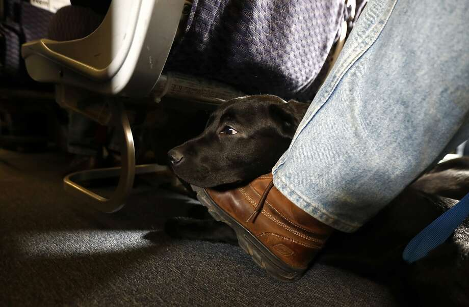 A service dog named Orlando rests on the foot of its trainer, John Reddan, while sitting inside a United Airlines plane at Newark Liberty International Airport during a training exercise, in Newark, N.J. United Airlines wants to see more paperwork before passengers fly with an emotional-support animal. United says the changes won't affect owners of legitimate service animals with special training. Photo: Julio Cortez, Associated Press