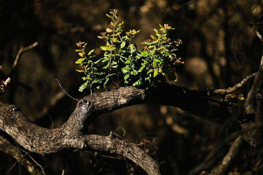 New signs of life emerge after October wildfires swept the Lower Bald Mountain Trail area at Sugarloaf Ridge State Park in Santa Rosa. Photo: Mason Trinca, Special To The Chronicle