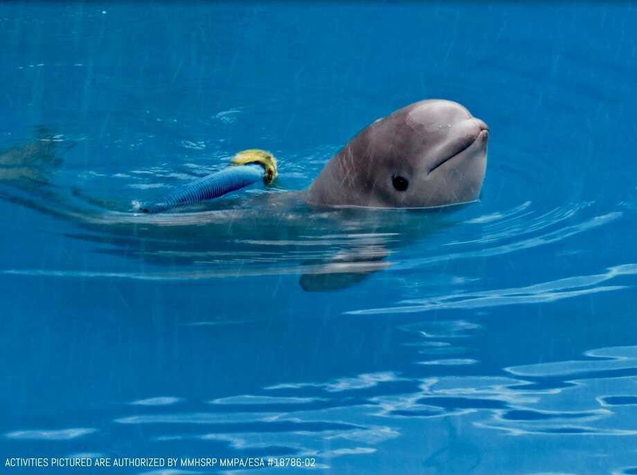 A beluga whale named Tyonek, seen in a courtesy image provided Sunday, Feb. 11, 2018 by SeaWorld public relations. Photo: COURTESY /COURTESY / COURTESY SEAWORLD