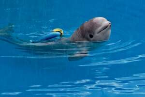 A beluga whale named Tyonek is on its way to SeaWorld San Antonio after being rescued in Alaska.