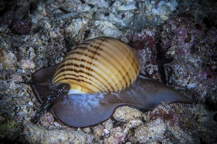 File photo of a sea snail. Photo: Giordano Cipriani/Getty Images