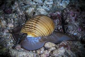 File photo of a sea snail.